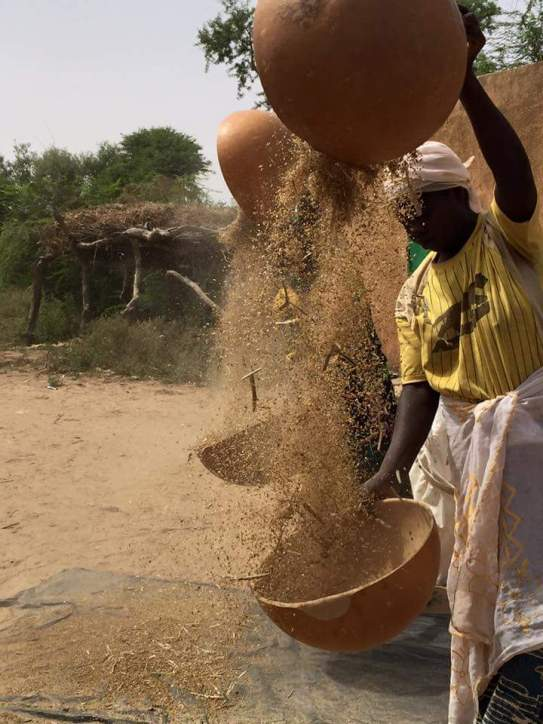 women pouring threshed grain from one bowl to another to winnow