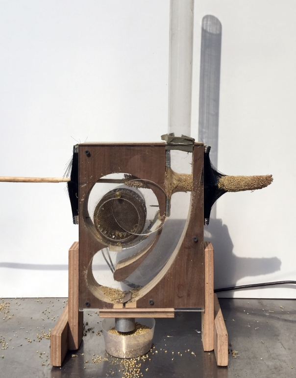 Image of the Ant Farm 1 thresher, a rectangular wooden machine with plexiglass windows revealing an airflow channel, a wheel-shaped fan, and a wire mesh screen. A pearl millet panicle is being fed through the machine, making contact with the top of the fan. The dislodged grain falls to the bottom of the machine and through a hole into a container.